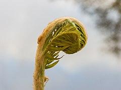Moerasvaren (Thelypteris palustris). 26-04-2020 (d.j.b.) 05.jpg