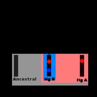 Haplogroup - Image: Molecular lineage
