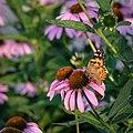 Monarch Butterfly on Coneflower, Minneapolis (35826678240).jpg