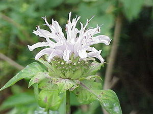 Species: Monarda fistulosa Family: ' Image No. 1