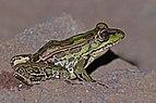Montane leopard frog (Lithobates taylori) 2.jpg