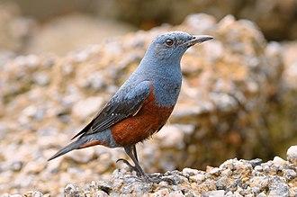 Blue rock thrush - Image: Monticola solitarius ground 8
