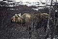 Moose (9514270204).jpg