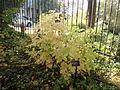 Morris Arboretum Aruncus dioicus.JPG