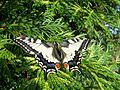 Motýl-otakárek.jpg
