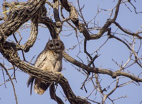 Mottled Wood Owl perching.jpg