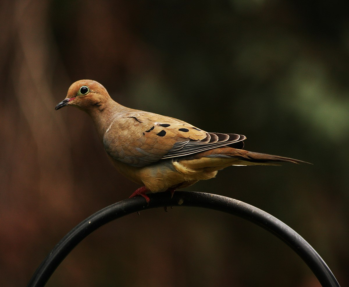 Mourning dove - Simple English Wikipedia, the free ...