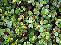 Muehlenbeckia axillaris Muhlenbekia niska 2017-10-15 02.jpg