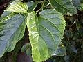 Mulberry leaf (3152750850).jpg