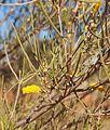 Mulga flowers.jpg