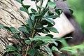 Murraya paniculata 9zz.jpg