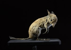 Pig-footed bandicoot - Specimen at Grande galerie de l'évolution