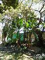 Musa × paradisiaca Linnaeus 1753 - 2013 005.jpg