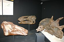 Museum of the Rockies Dinosaur Heads.JPG