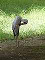 Mycteria ibis - yellow-billed stork - Nimmersatt - Tantale ibis - 03.jpg