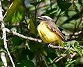 Myiozetetes similis -Vale do Ribeira, Registro, Sao Paulo, Brasil-8.jpg