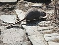 Myocastor coypus in Kolin 11.jpg