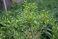 Myrica pensylvanica leaf (01).jpg