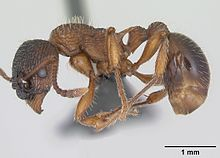 research on ant tribe phenomenon It differs from most members of the tribe  reports of the mccoy society for field investigation and research  austromorium, a new myrmicine ant genus from .