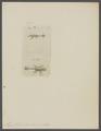 Mysis fabricii - - Print - Iconographia Zoologica - Special Collections University of Amsterdam - UBAINV0274 097 12 0005.tif
