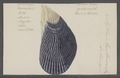 Mytilus magellanicus - - Print - Iconographia Zoologica - Special Collections University of Amsterdam - UBAINV0274 076 01 0004.tif