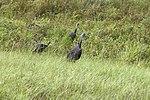 NASA Kennedy Wildlife - Wild Turkeys (1).jpg