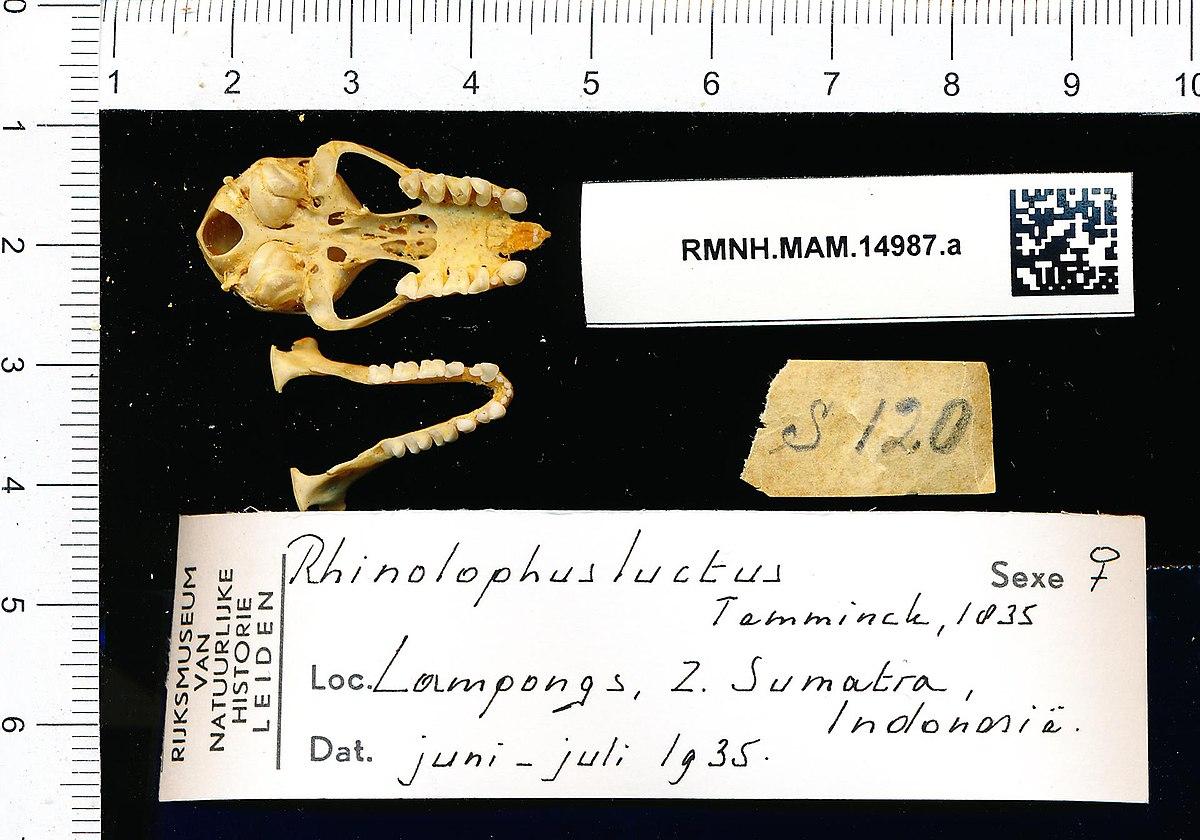 File:Naturalis Biodiversity Center - RMNH.MAM.14987.a pal - Rhinolophus  luctus - skull.jpeg - Wikimedia Commons
