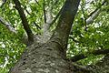 Naturdenkmal Esslingen-Platane im Merkelpark 81160191317.jpg