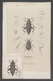 Necrodes - Print - Iconographia Zoologica - Special Collections University of Amsterdam - UBAINV0274 016 02 0025.tif