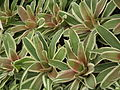 Neoregelia from Lalbagh Flowershow - August 2012 4631.JPG
