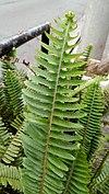 Nephrolepis cordifolia - φτέρη.jpg