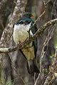 New Zealand Pigeon - New Zealand (27465232339).jpg