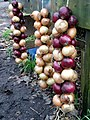 New season onions for sale at Crean Bottoms - geograph.org.uk - 79903.jpg