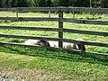 Newbigging Sheep - geograph.org.uk - 556973.jpg