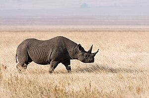 South-central black rhinoceros - Image: Ngorongoro Spitzmaulnashorn edit 1