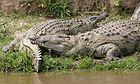 Nila krocparo 690V1510 - Flickr - Lipo Kee.jpg