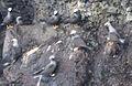Noio flock at Wainapanapa.jpg