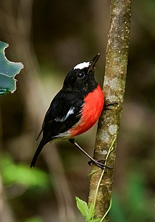 Norfolk Robin (Petroica multicolor) in the Norfolk Island.jpg