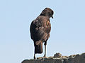 Northern Anteater-Chat RWD6.jpg