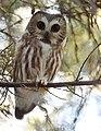 Northern Saw-whet Owl (31782223202).jpg