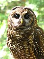 Northern Spotted Owl (8736082751).jpg
