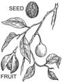 Nutmeg (PSF).png