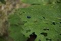 Oasi valtrigona insetti.jpg