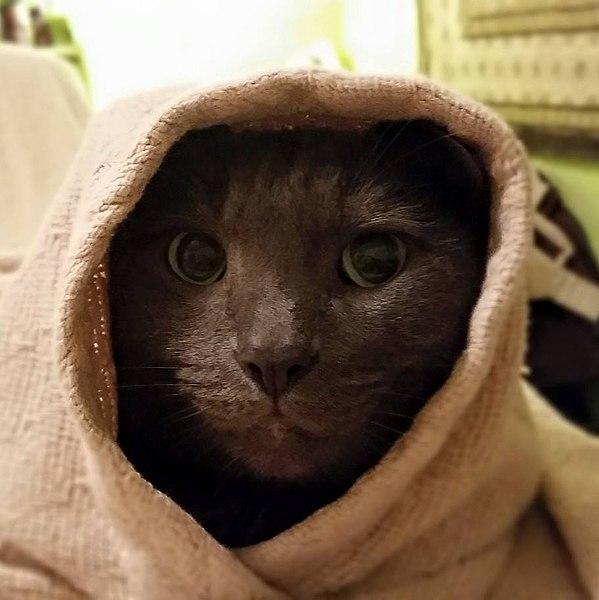 File:Obi-Wan Catnobi.jpg