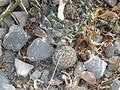 Obregonia denegrii and Coryphantha delicata (5686074013).jpg