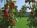 Obstbäume im Greutterwald (2).jpg