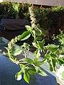 Ocimum basilicum flower 01.jpg