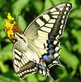 Old World Swallowtail. Libya.jpg