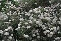 Olearia macrodonta.jpg