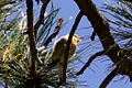 Olive Warbler (male) - Rustler Park - Cave Creek - AZ - 2015-08-16at12-09-008 (21450671309).jpg